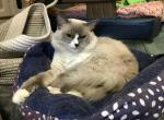Gringo - Ragdoll Cat For Sale - Los Angeles, CA, US