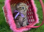 Toffee - Scottish Fold Kitten For Sale -