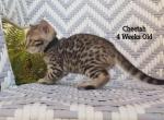 Cheetah - Bengal Kitten For Sale -