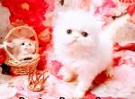 White female Persian kitten - Persian Kitten For Sale - Fort Wayne, IN, US
