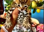 Savannah Lynx Chausie Hybrid Kittens - Savannah Cat For Sale -
