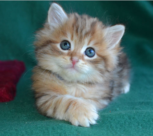 Best bengal kitten food
